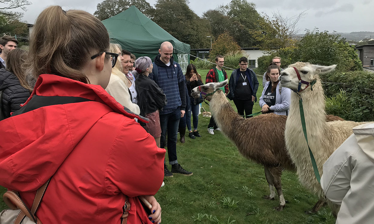 Llama therapy reduces stress but causes drama on campus