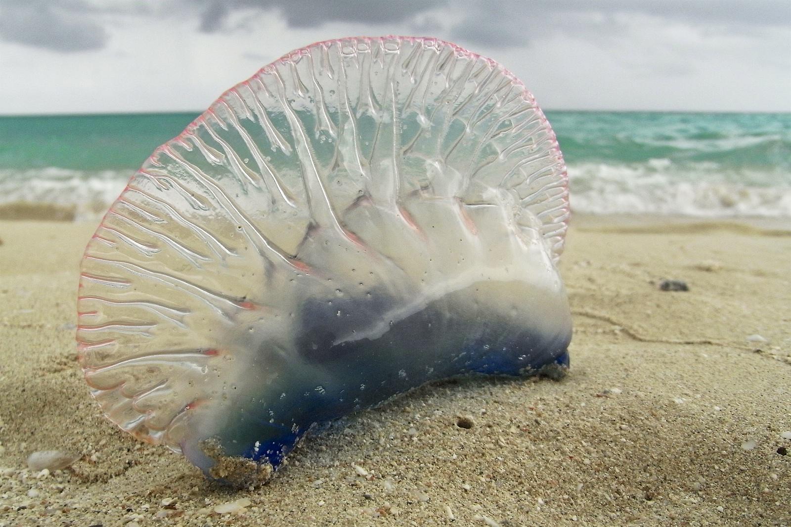 Portuguese man-o-war sightings fascinate beachgoers