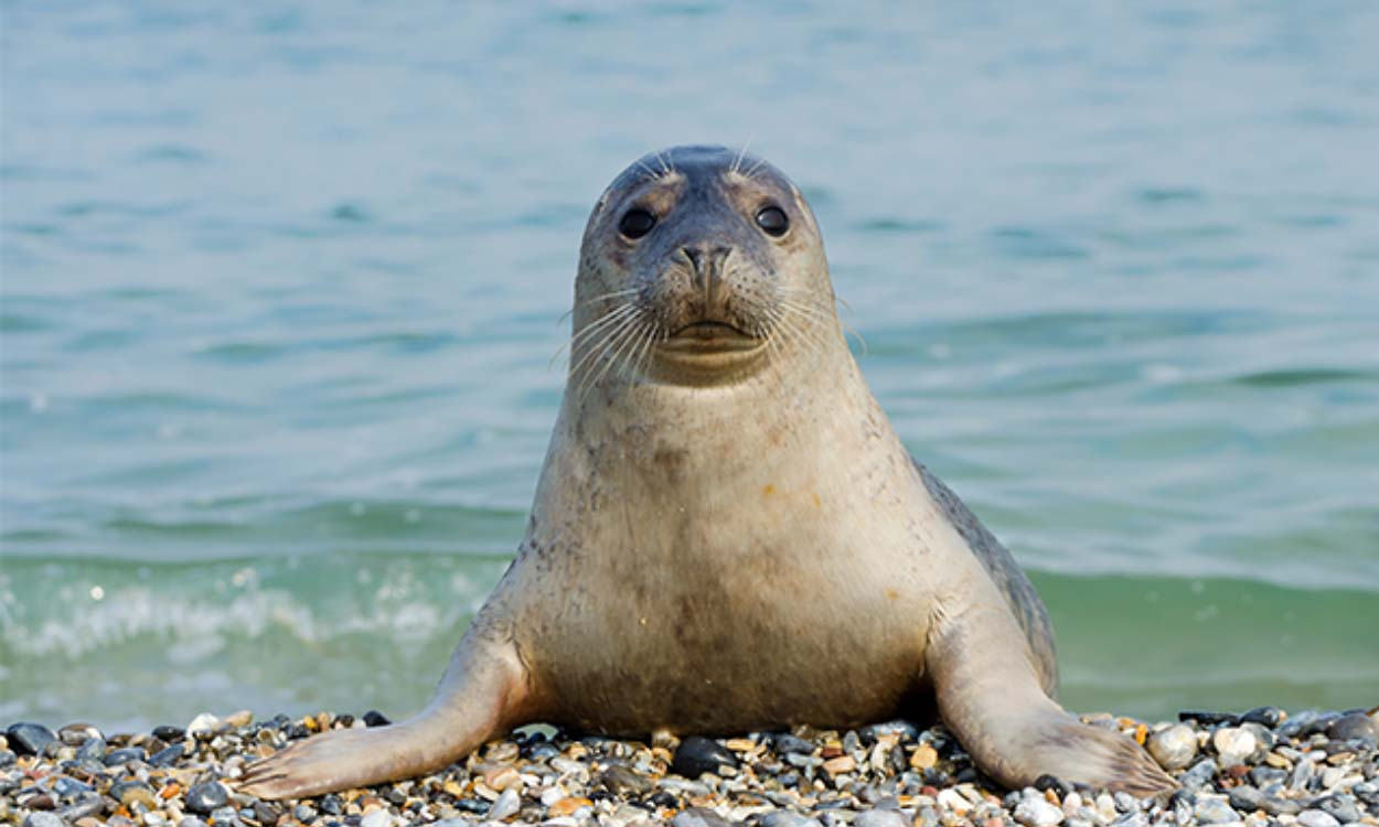 Seal pup saved from Porthtowan beach in care following injury